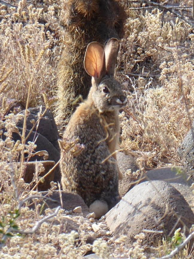 desert cottontail Deem Hills 4-11-17 (2)