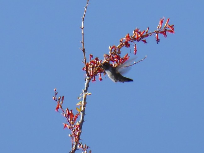 hummingbird Deem Hills 4-14-17 (2)