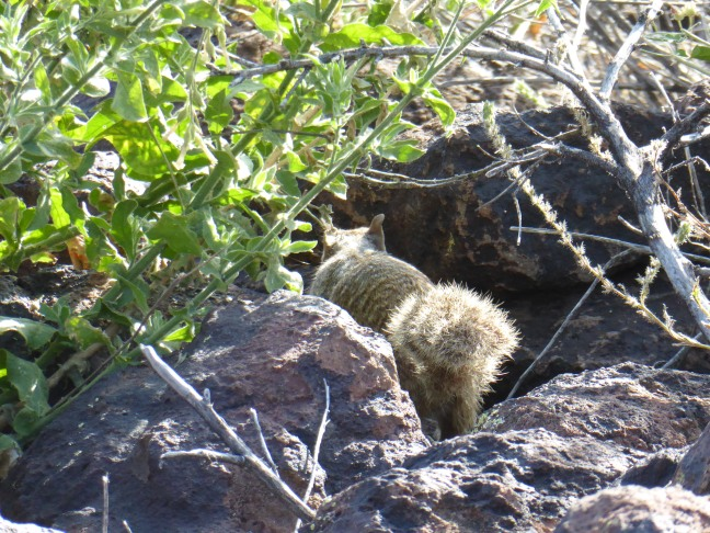 Rock Squirrel Deem Hills 4-12-17 (1)