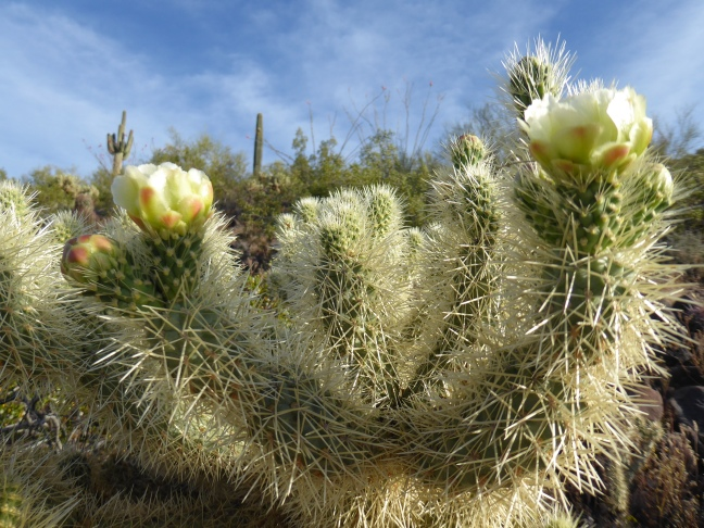 teddy bear cholla bloom flower Deem Hills 4-7-17 (5)