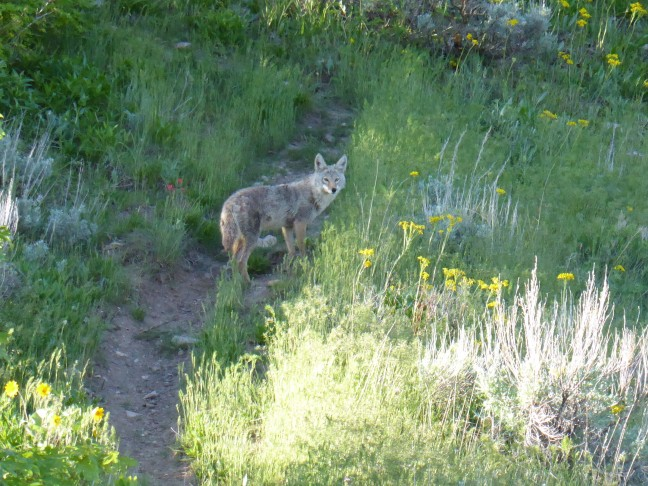 coyote Wild Rose 05-10-17 (1)